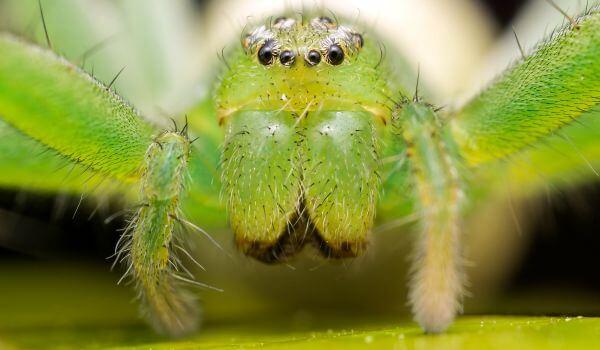 Фото: Паук микромата зеленоватая