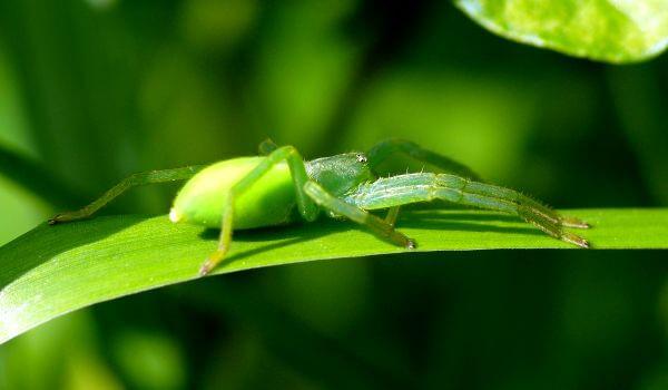 Фото: Микромата зеленоватая в России