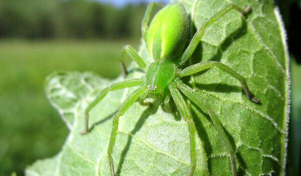Фото: Микромата зеленоватая в природе