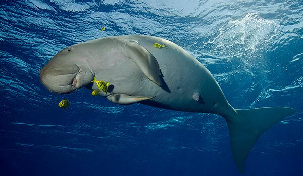 Фото: Морская корова в воде