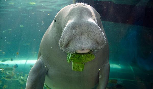 Фото: Морская корова