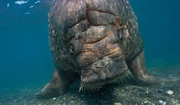 Фото: Капустница, или морская корова