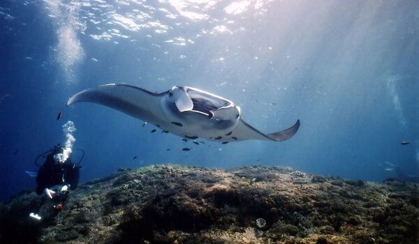 Фото: Морской дьявол под водой