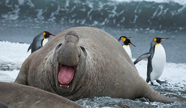 Фото: Южный морской слон