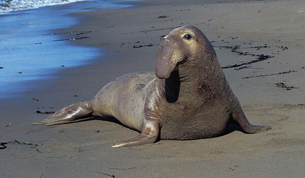 Фото: Самка морского слона