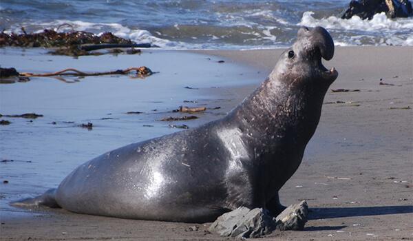 Фото: Морской слон