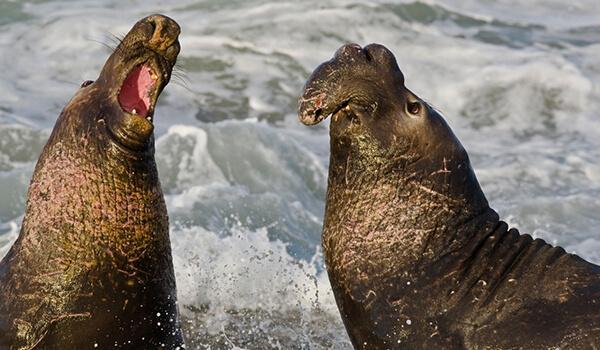 Фото: Как выглядят морские слоны