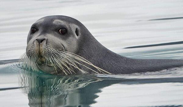 Фото: Лахтак, или морской заяц