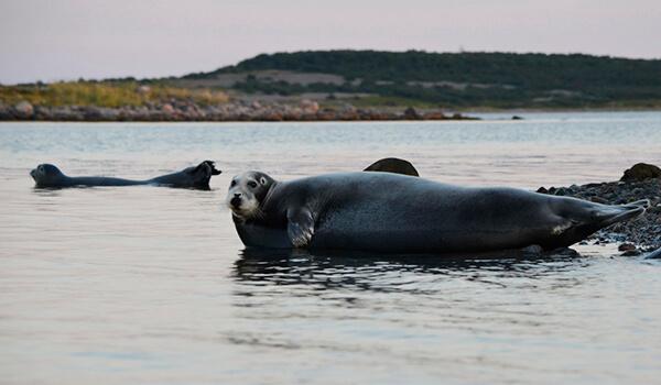 Фото: Черный морской заяц