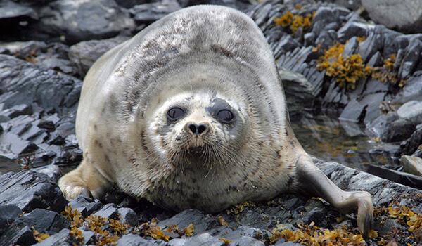Фото: Морской заяц