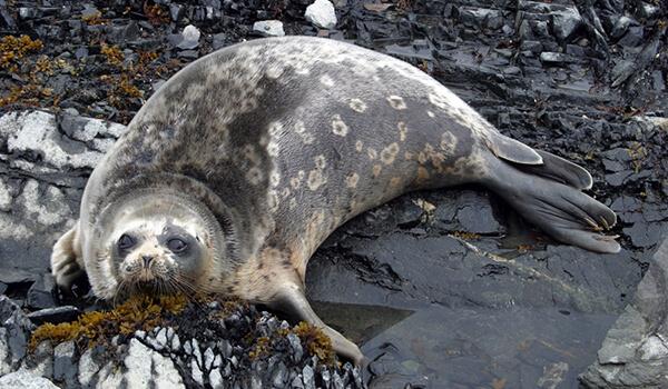 Фото: Тюлень морской заяц