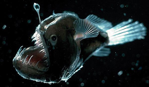Фото: Рыба морской черт