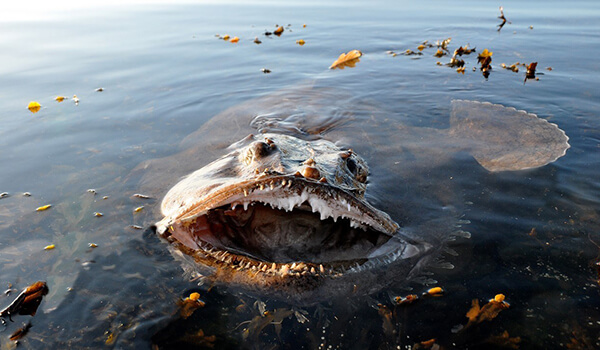 Фото: Морской черт в воде