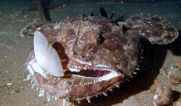 Фото: Морской черт удильщик