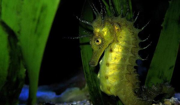 Фото: Морской конек в воде