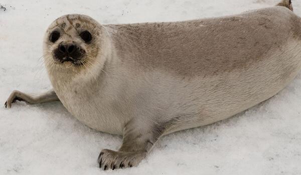Фото: Морской котик из Красной книги