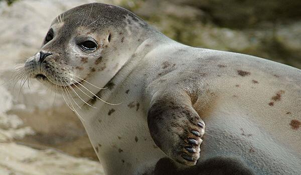 Фото: Морской котик в природе