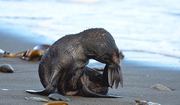 Фото: Морской котик в России