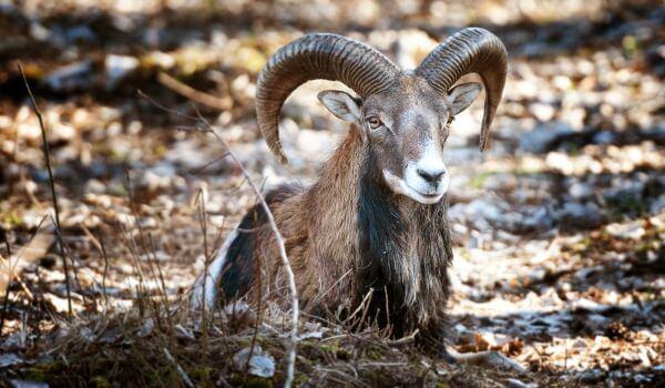 Фото: Армянский муфлон