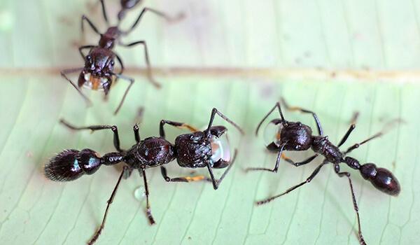 Фото: Как выглядит муравей пуля
