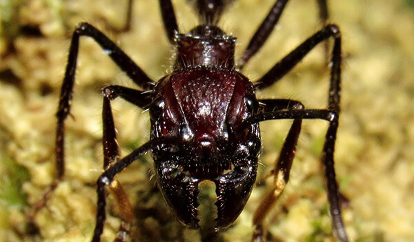 Фото: Ядовитый муравей пуля