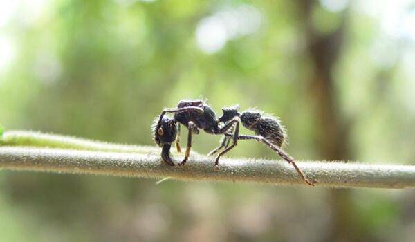 Фото: Опасный муравей пуля
