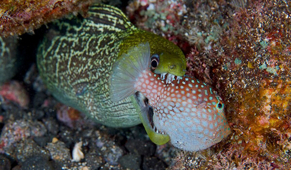 Фото: Морская рыба мурена