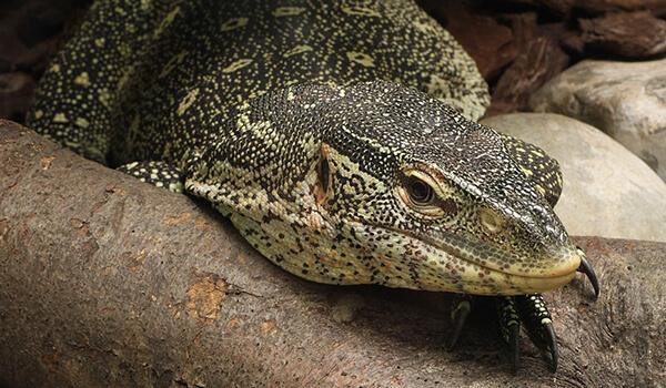 Фото: Нильский варан в природе