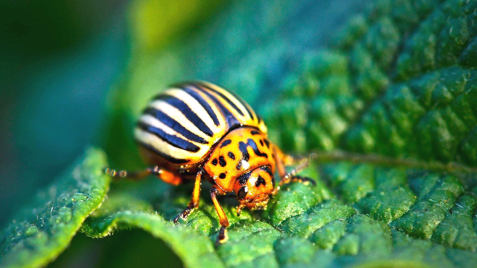 Откуда появился колорадский жук в России