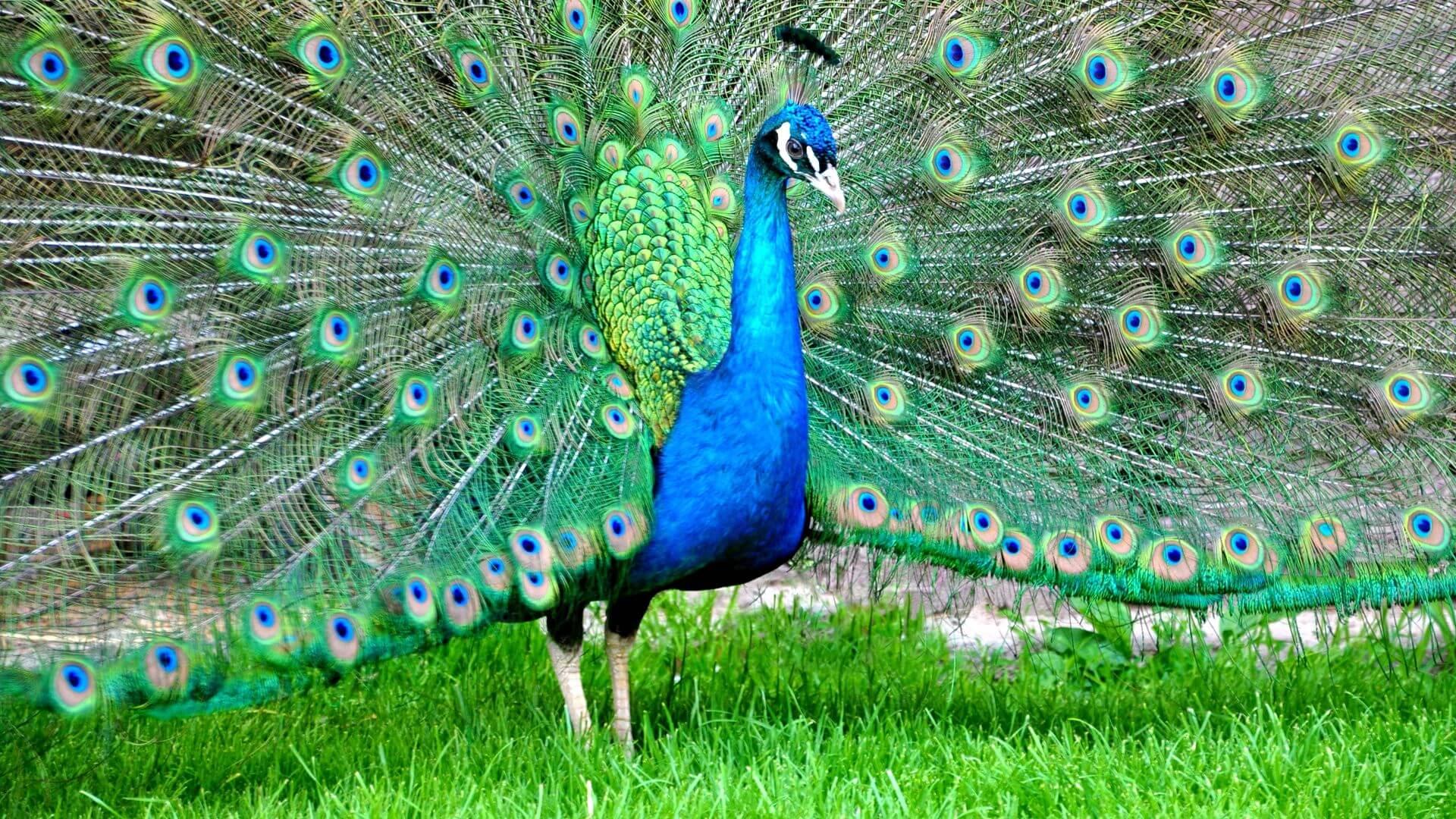 Индийский павлин - Indian peafowl