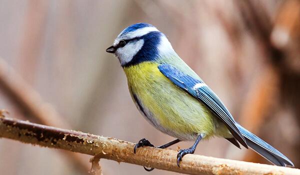 Фото: Обыкновенная лазоревка, она же синяя синица