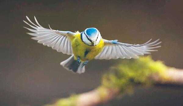 Фото: Обыкновенная лазоревка в полете