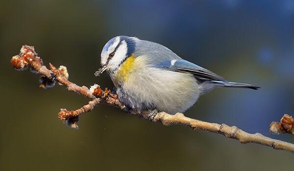 Фото: Обыкновенная лазоревка, или синяя синица