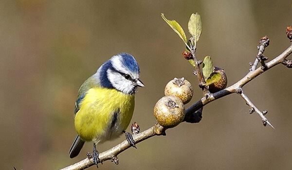 Фото: Птица обыкновенная лазоревка