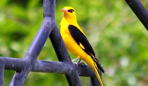 Фото: Птица обыкновенная иволга