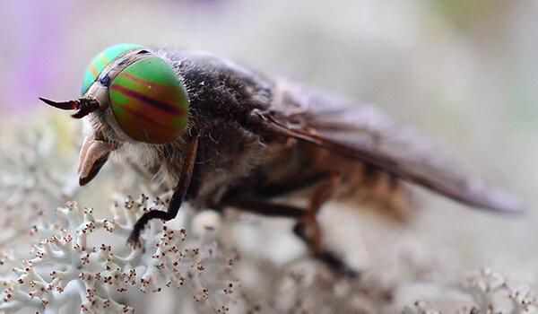Фото: Овод в природе