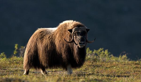 Фото: Сибирский овцебык