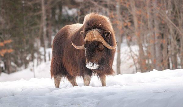 Фото: Овцебык в России