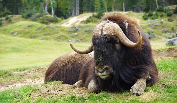 Фото: Как выглядит овцебык