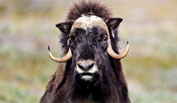 Фото: Животное овцебык