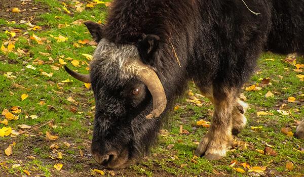 Фото: Овцебык в природе