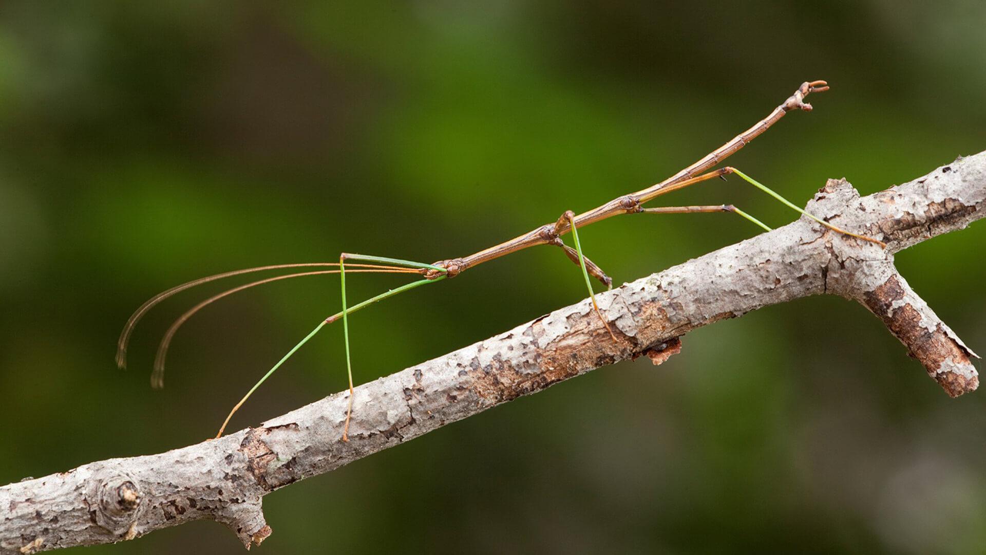 Гусеница палочник
