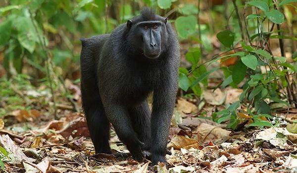 Фото: Черный павиан