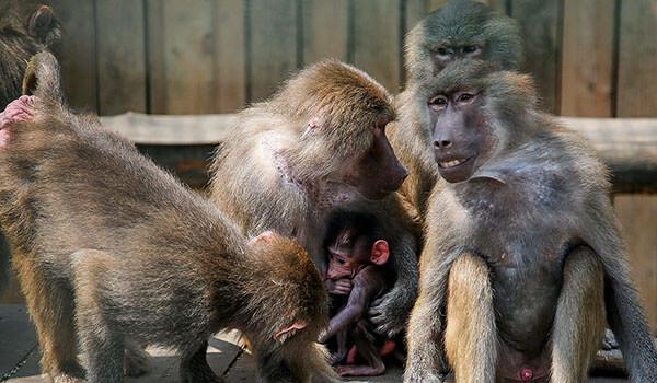 Фото: Детеныш павиана