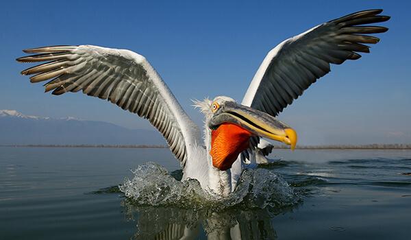 Фото: Пеликан