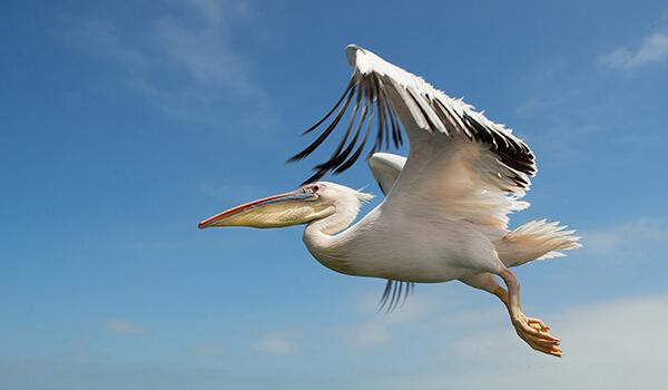 Фото: Пеликан в полете