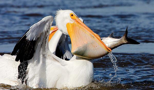 Фото: Пеликан в России
