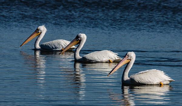 Фото: Семья пеликанов