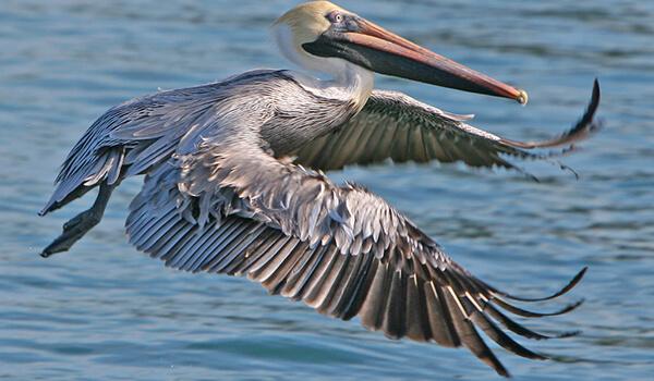 Фото: Птица пеликан