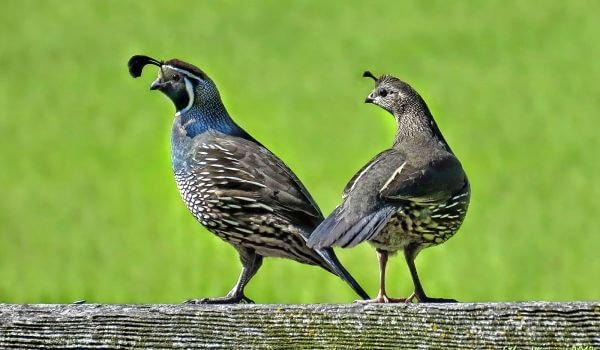 Фото: Самец и самка перепёлки